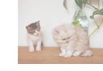 短毛の猫・長毛の猫の特徴