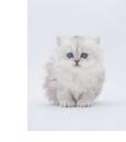 純血種の猫の特徴